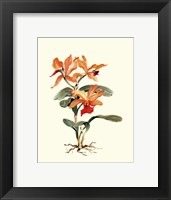 Orange Orchid Framed Print