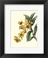Dendrobium Orchid Framed Print