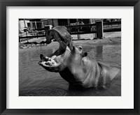 Framed USA, Louisiana, New Orleans, Hippopotamus in zoo