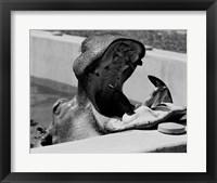 Framed Hippopotamus (Hippopotamus amphibius) in pool
