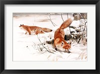 Framed Common Foxes in the Snow