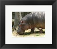 Framed Face Hippopotamus Amphibius Mexico