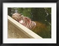 Framed Hipopotam - Warszawskie Zoo