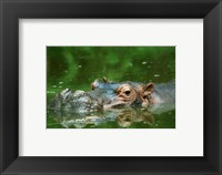 Framed Hippopotamus Surfacing