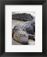 Framed Florida Alligator