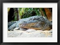 Framed Loro Parque Alligator