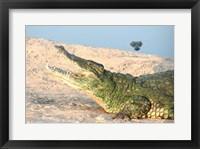 Framed Open Mouth Crocodile