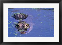 Framed High angle view of an American alligator swimming in a pond