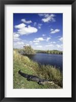 Framed High angle view of an alligator near a river, Everglades National Park, Florida, USA
