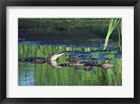 Framed Group of American Alligators in water