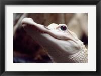 Framed Albino Alligator