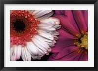 Framed White Gerbera & Pink Dahlia