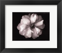 Framed Wild Rose- mini