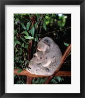 Framed Koala hugging its young, Lone Pine Sanctuary, Brisbane, Australia (Phascolarctos cinereus)
