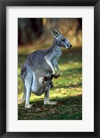 Framed Red Kangaroos Australia