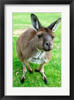 Framed Portrait of a kangaroo, Australia