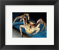 Framed Spider, Garden Orb