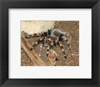 Framed Tarantula