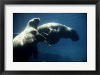 Framed Two Pacific Walruses swimming underwater