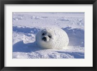 Framed Harp Seal Wrapped in Snow
