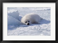Framed Harp Seal pup lying in snow