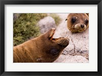 Framed Close-up of two Sea Lions relaxing on rocks, Ecuador