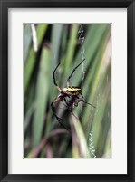 Framed Close-up of an Argiope Spider