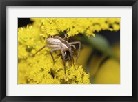 Framed Close-up of a Lynx Spider carrying a bee