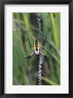 Framed Close-up of a Garden Spider
