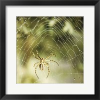 Framed Garden Spider