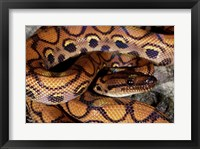 Framed Close-up of a Brazilian Rainbow Boa curled up (Epicrates cenchria cenchria)