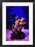 Framed Giant Finger Coral Maui Ocean Center Maui, Hawaii, USA