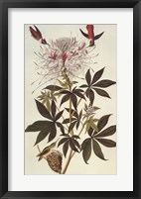 Ruff-Necked Hummingbird Framed Print