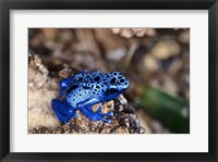 Framed High angle view of a Blue Poison Arrow Frog on a rock