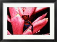 Framed Close-up of a Strawberry Poison Dart frog
