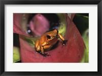Framed Strawberry Poison Frog - close up