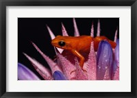 Framed Golden Mantella Frog