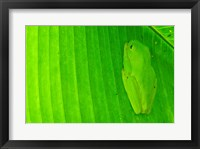 Framed Green frog  hiding on a banana leaf, Costa Rica