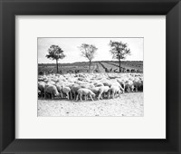 Framed Cyclists passing a herd of sheep, Tour de France 1938