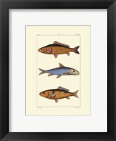 Framed Freshwater Fish II