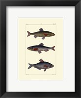 Framed Freshwater Fish III