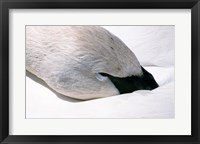 Framed Close-up of Trumpeter Swan (Cygnus buccinator)