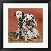Dalmatians Framed Print