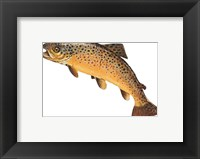 Salmo Trutta Framed Print
