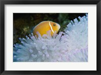 Framed Clown Fish, Nananu-I-Ra Island, Fiji