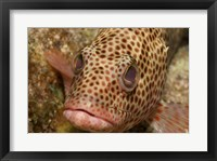 Red Hind Fish Framed Print