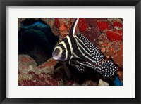 Framed Spotted Drum Fish