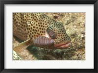 Red Hind Fish with spots Framed Print