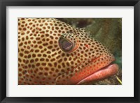 Red Hind Fish up close Framed Print