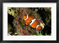 Framed Percula Clownfish
